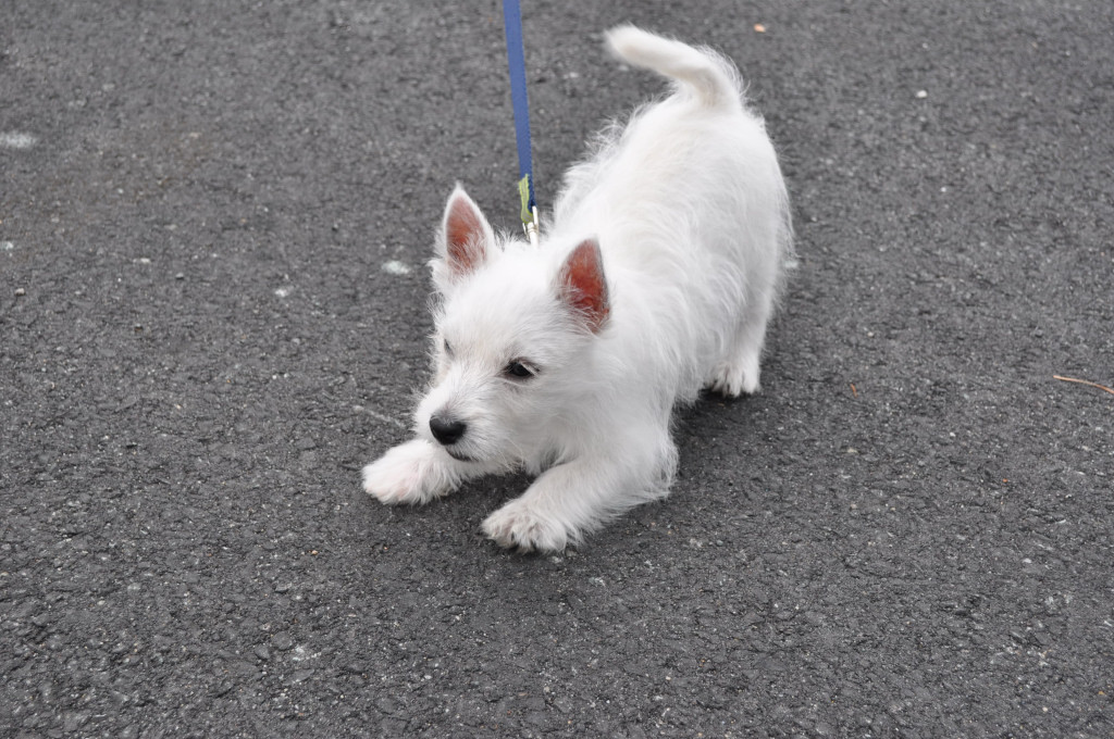 Pets for Adoption at Westie Rescue USA, in Delaware