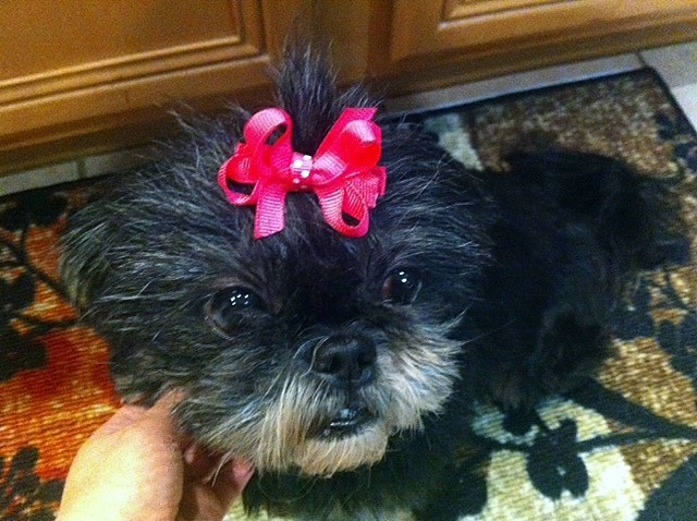 Pets for Adoption at Shih Tzu and Furbaby Rescue, in Orlando
