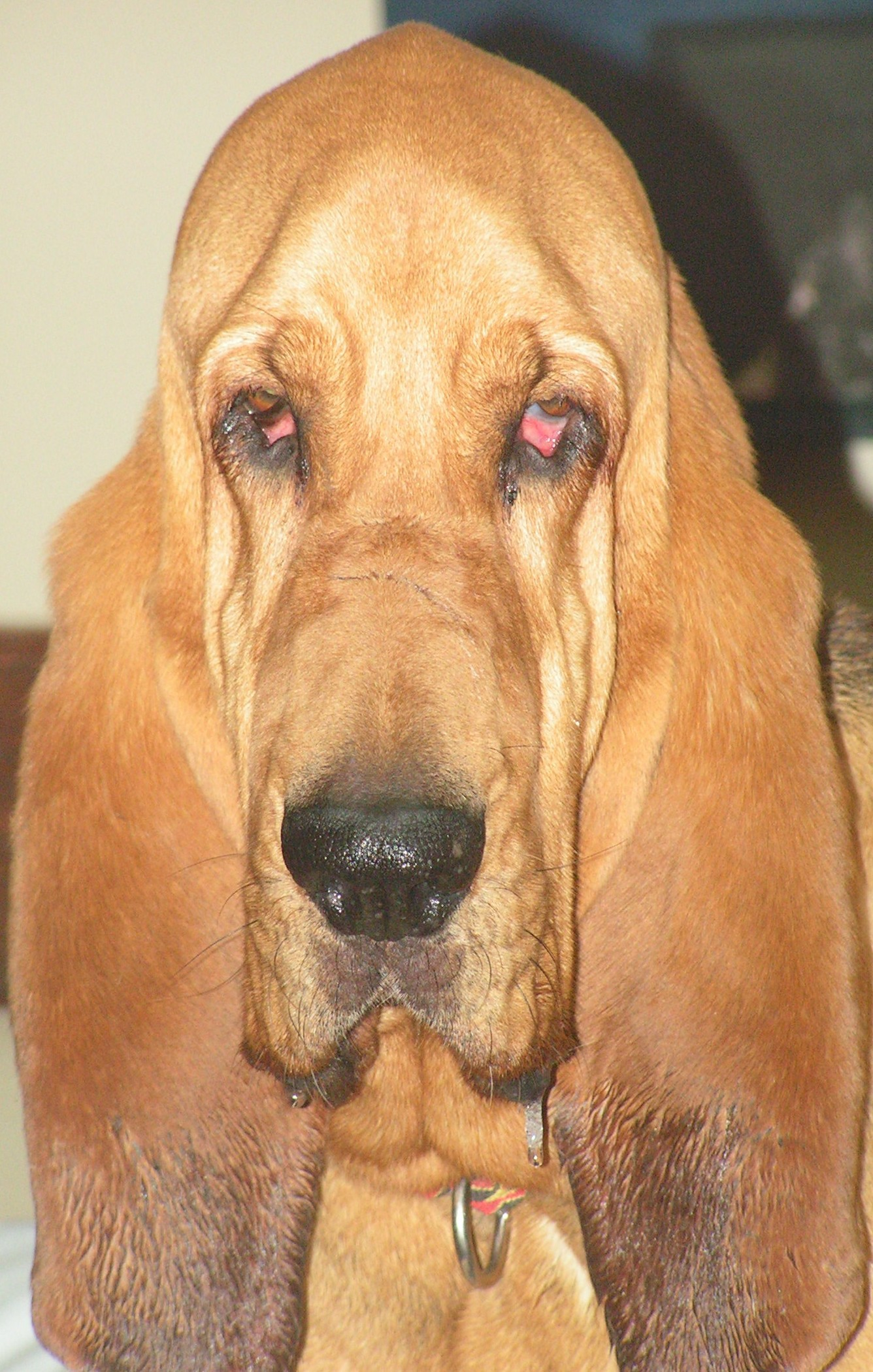 Southeast Bloodhound Rescue