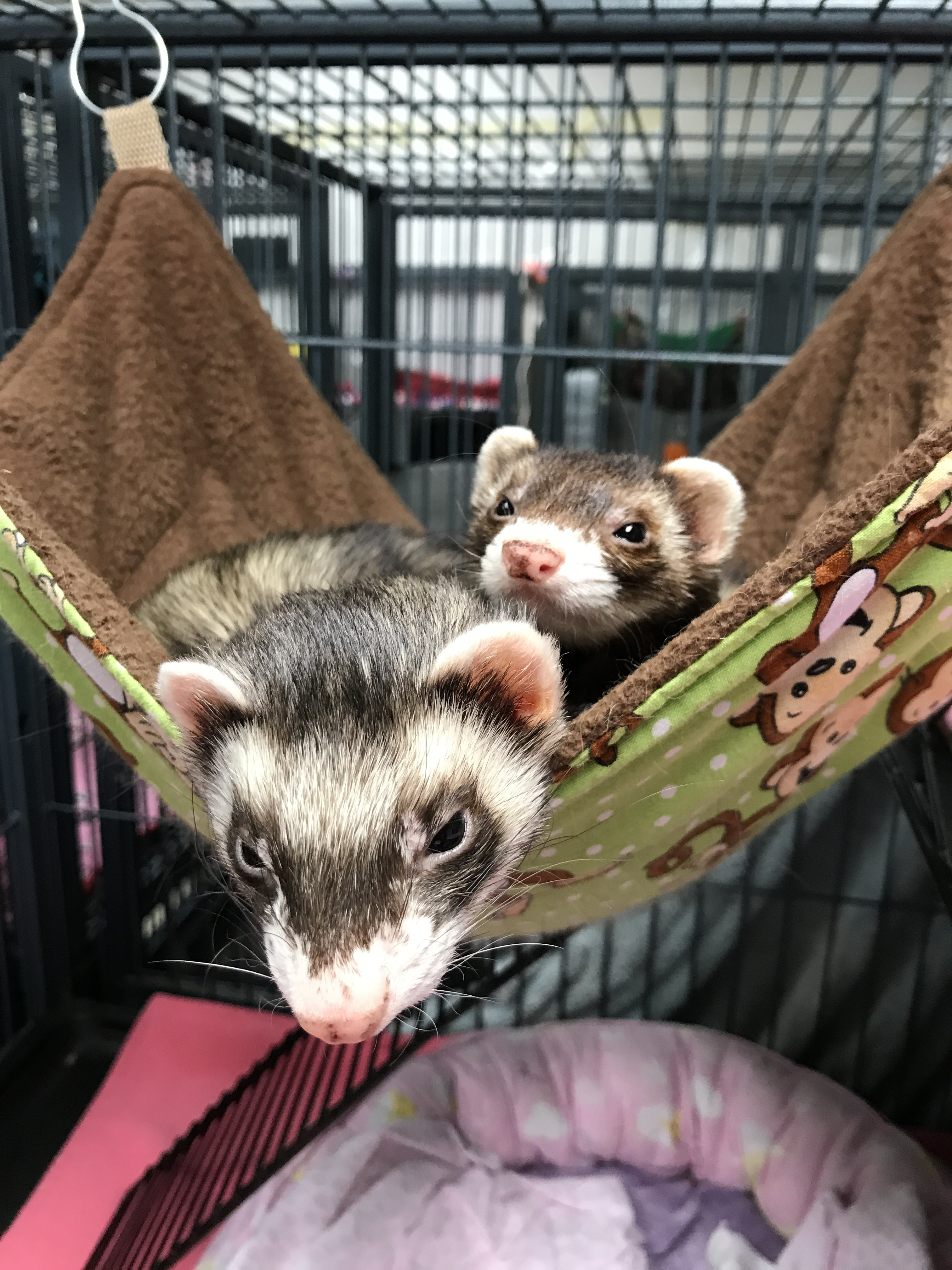 Pets For Adoption At Greater Chicago Ferret Association