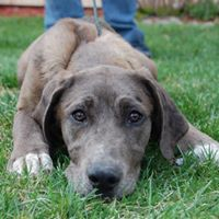 Great Dane Puppy - Adopted !