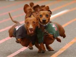 Pets For Adoption At Kentucky Dachshund Rescue In Georgetown Ky