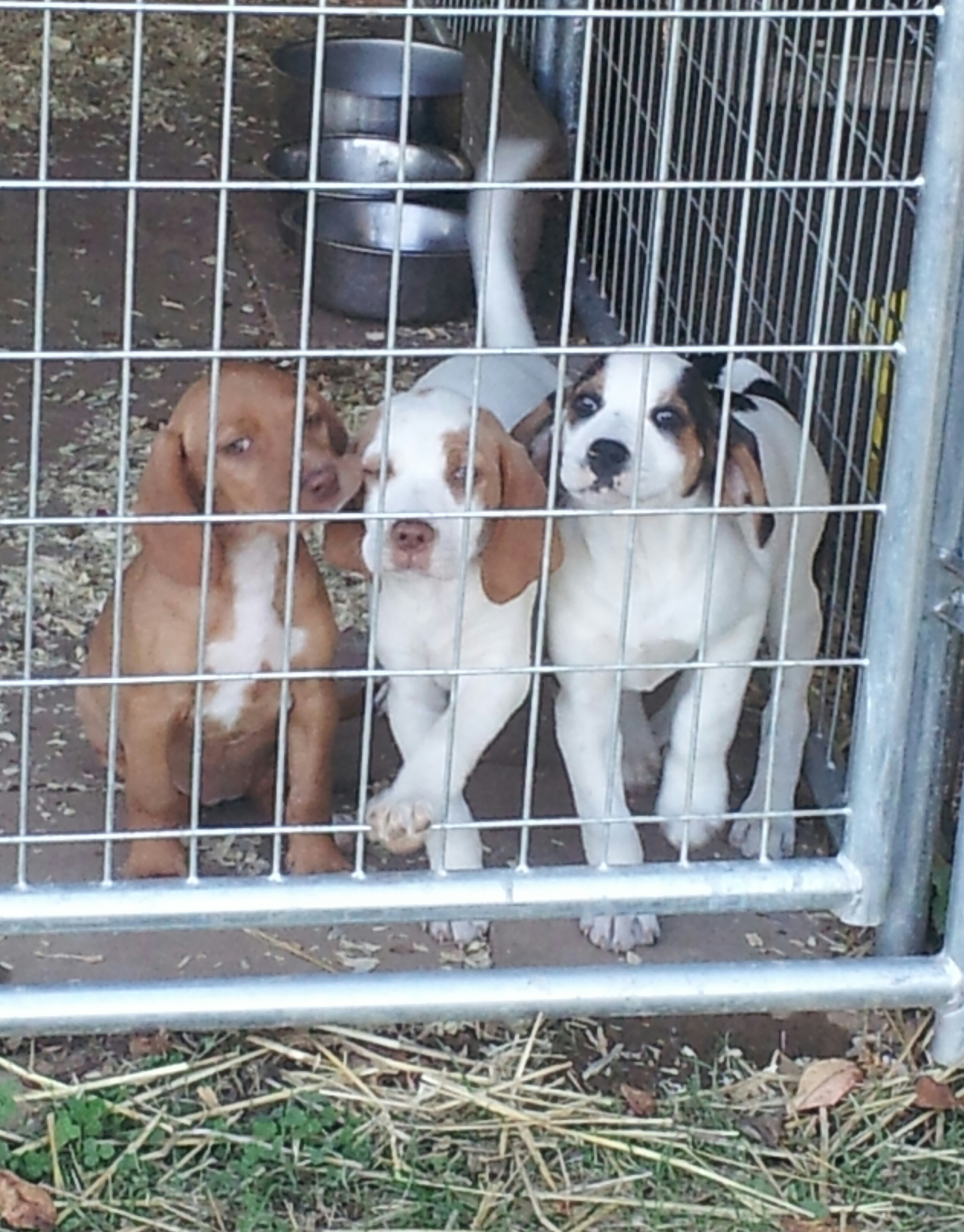 3 hound pups from the shelter