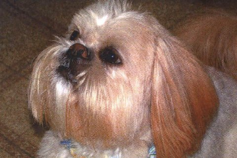 Pets For Adoption At Bluegrass Shih Tzu Rescue Inc In Lexington
