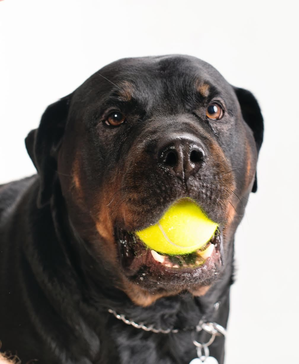 Pets For Adoption At North East Rottweiler Rescue In Westford Ma