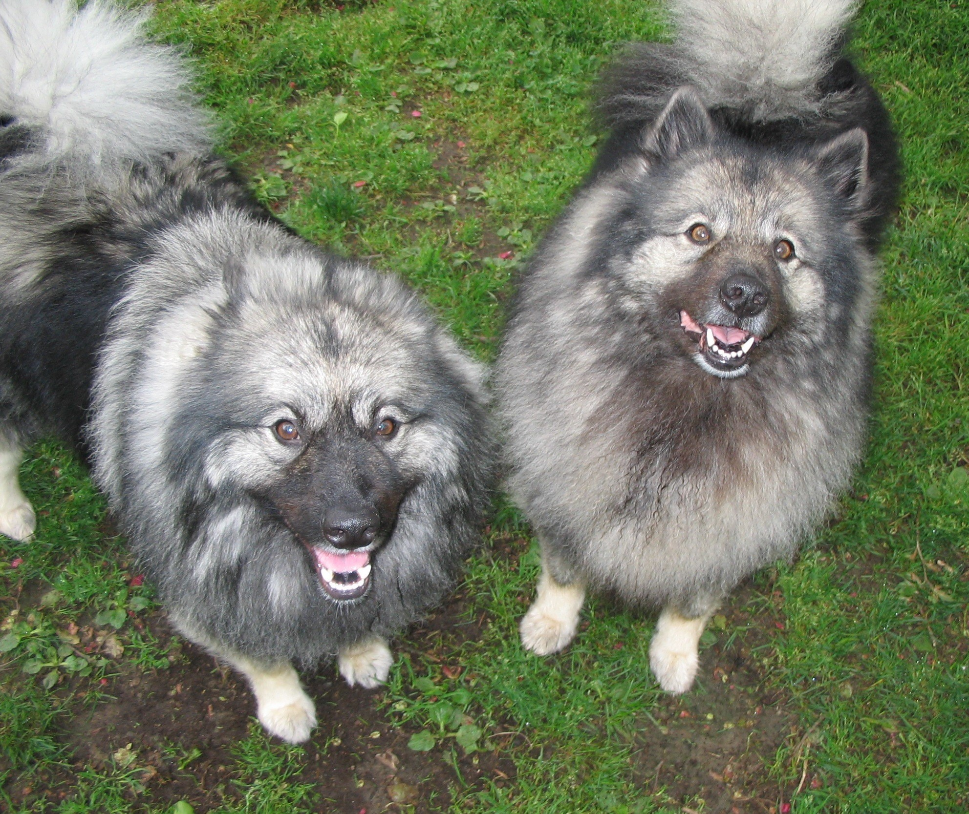 Keeshond And Cats Pets for Adopti...