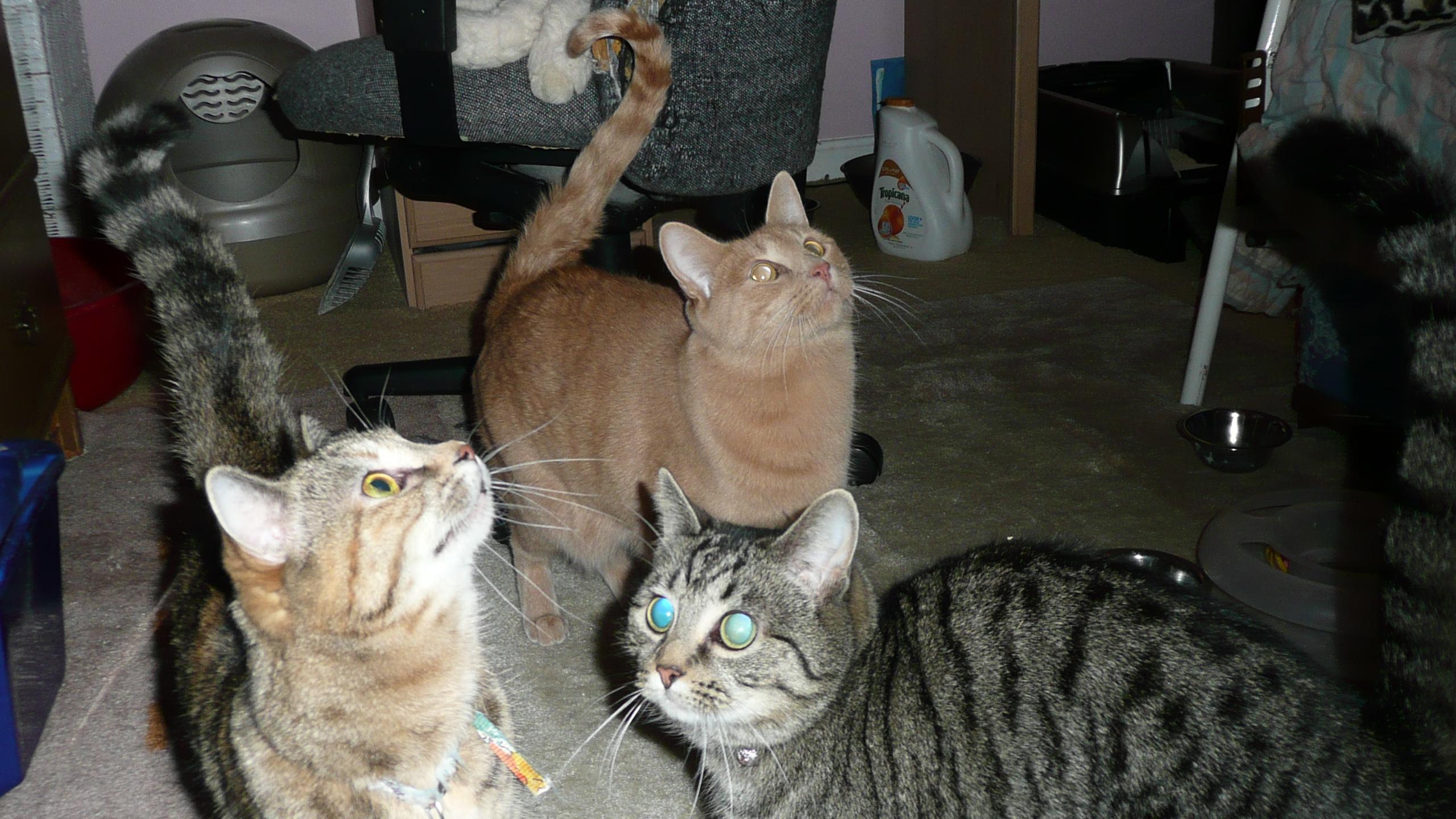 Shingilana Rescued Felines