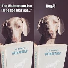 Weims do not realize they are dogs....