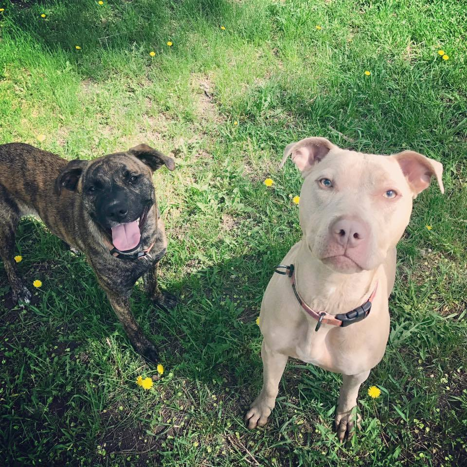pets for adoption at gemini rottweiler and pitbull rescue