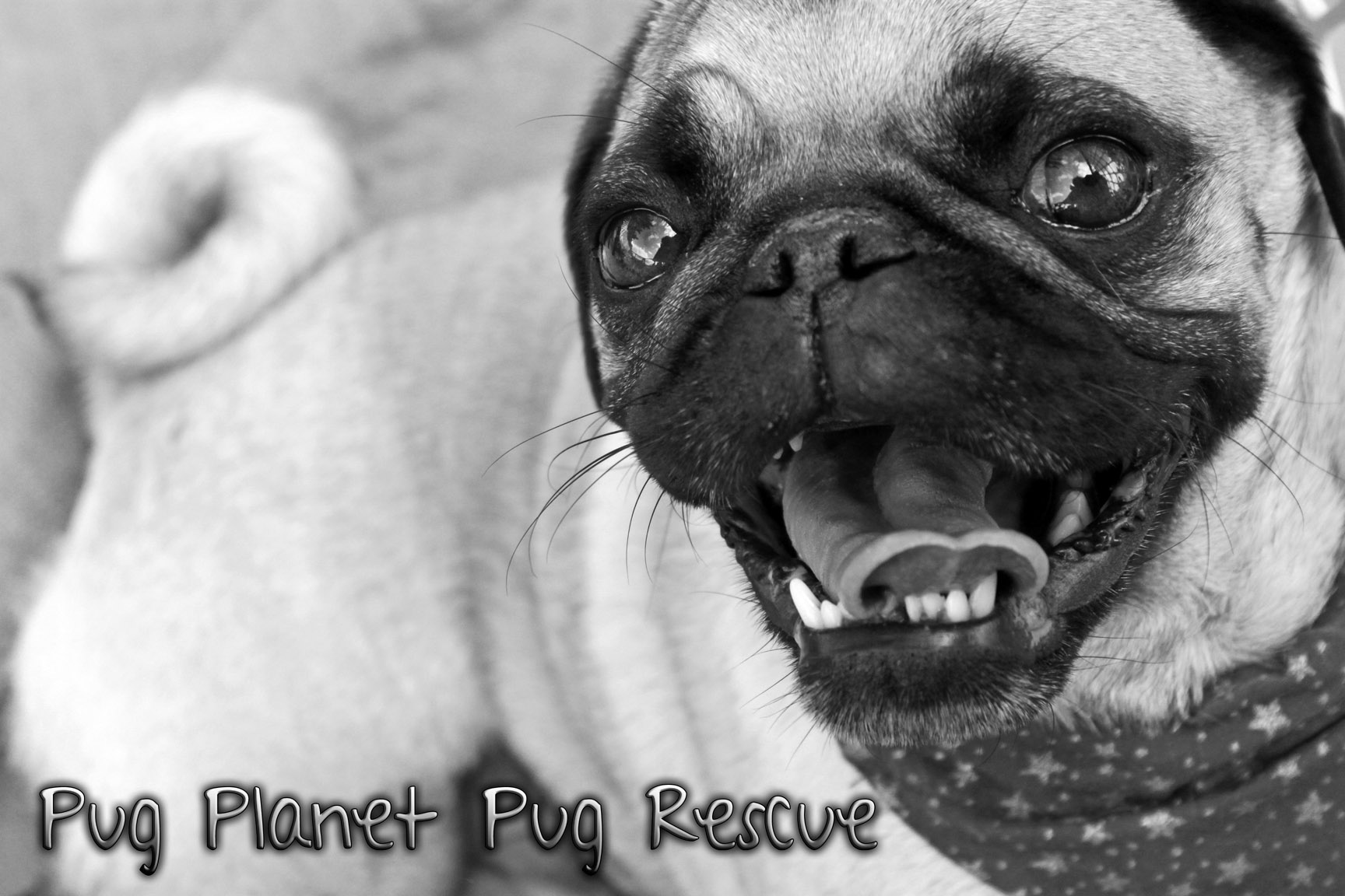 Pets For Adoption At Pug Planet Pug Rescue In Forked River Nj