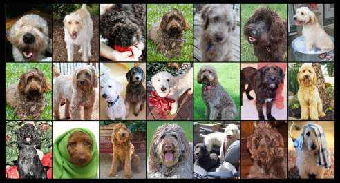 Pets for Adoption at Doodle Rescue Collective Inc , in