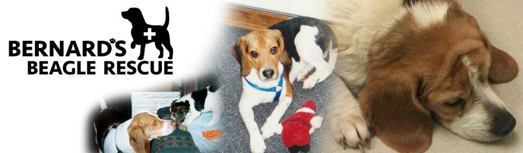 Bernards Beagle Rescue
