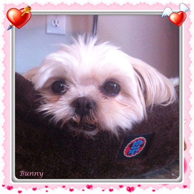 Pets For Adoption At Shih Tzu And Furbaby Rescue In Crompond Ny