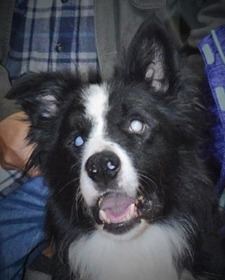 Pets for Adoption at Indian Summers Border Collie Rescue