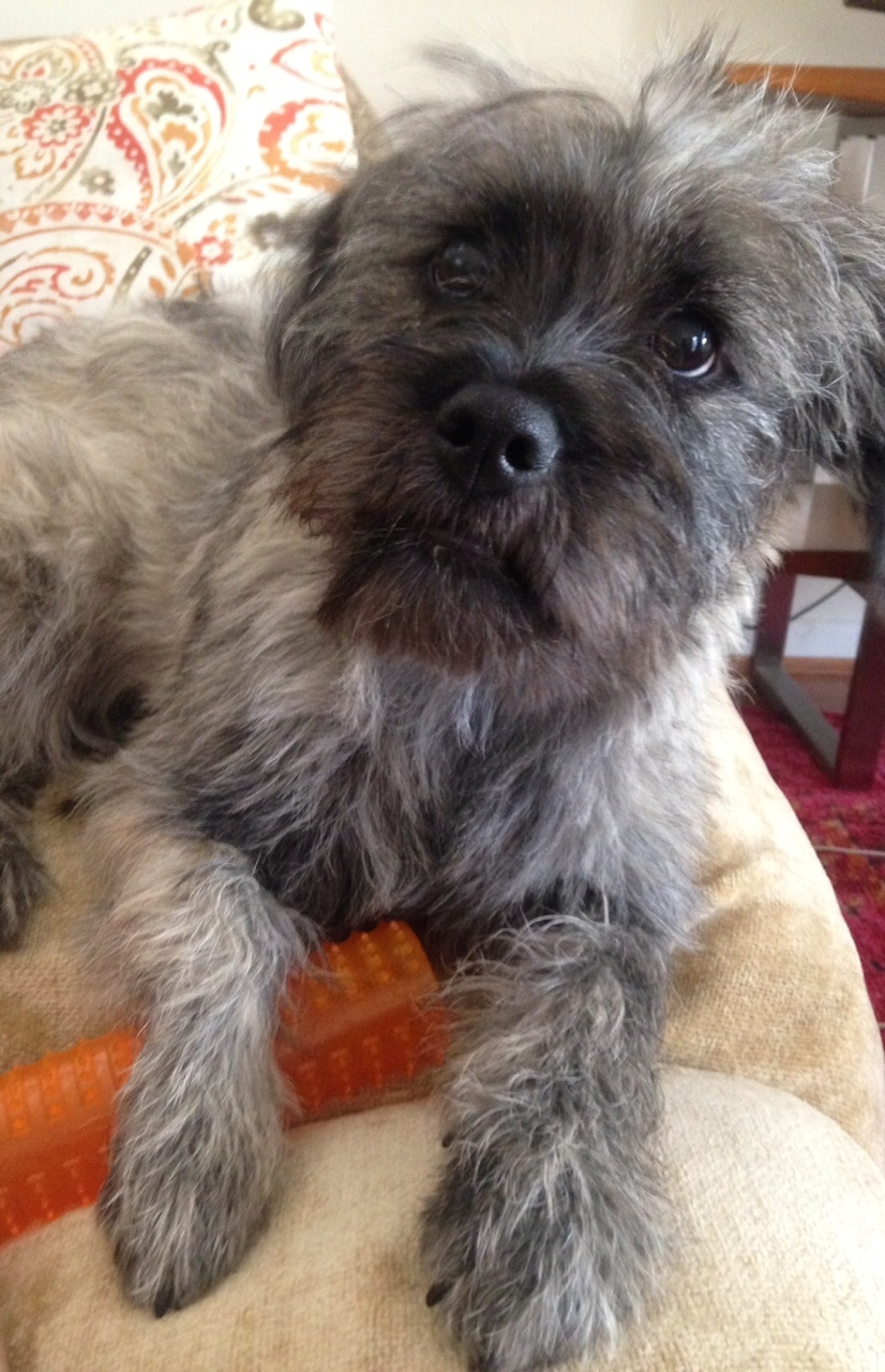 Pets for Adoption at Westie/Cairn Terrier Rescue of SW Ohio, in