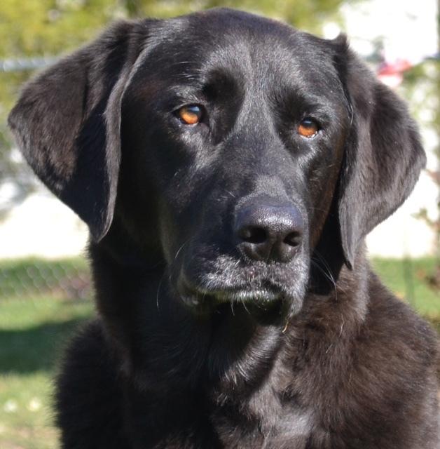 Pets for Adoption at Ohio Labrador Retriever Rescue Services