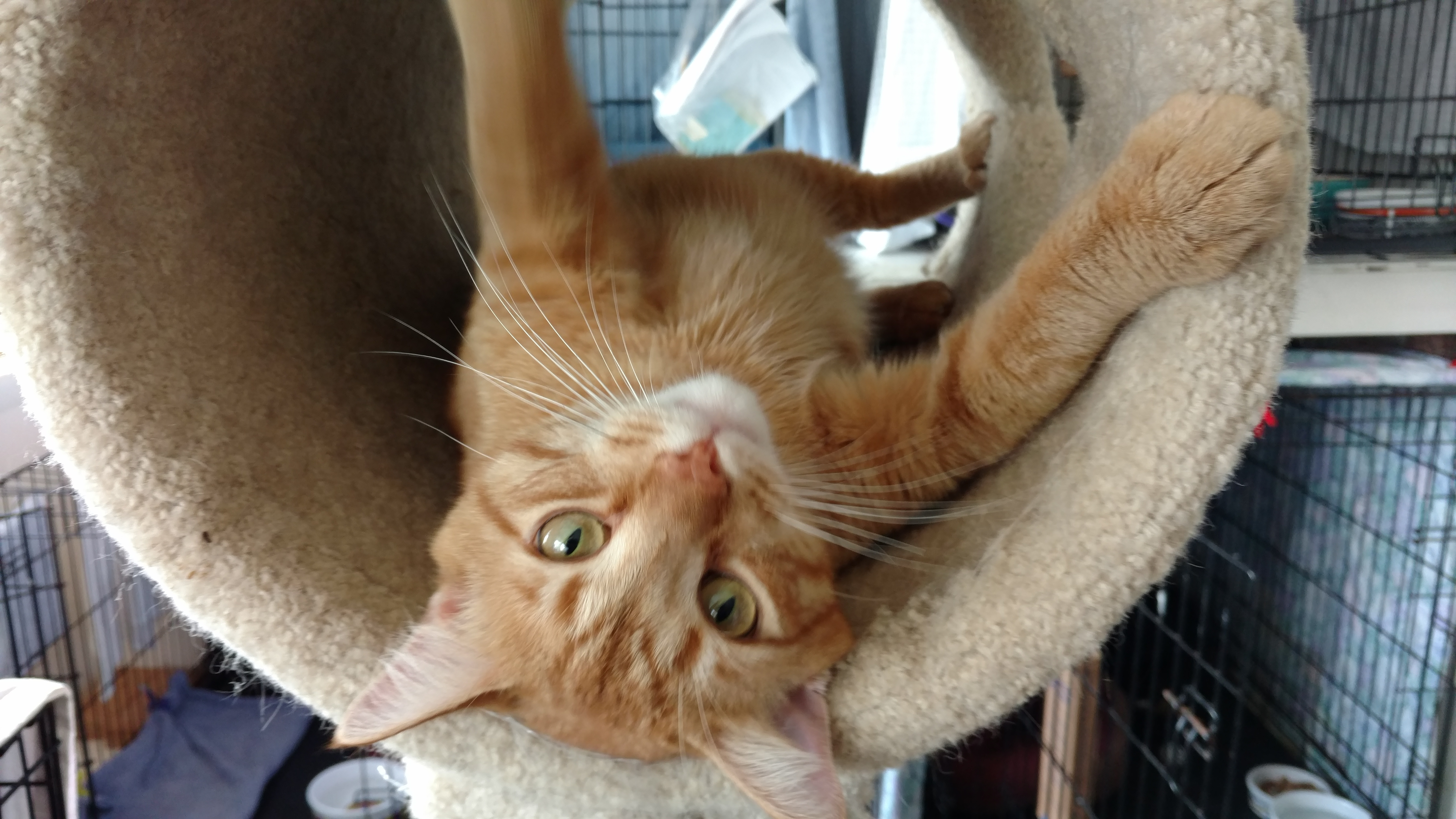 Pets for Adoption at Susans Cats and Kittens in Churchville PA
