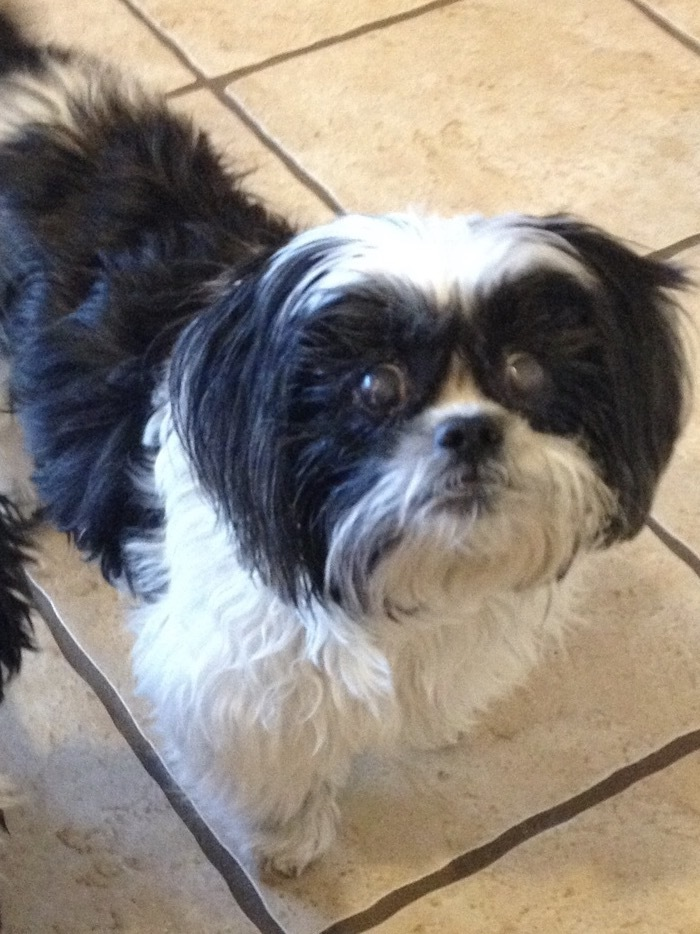 Pets For Adoption At Shih Tzu And Precious Paws Rescue In