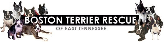 Pets for Adoption at Boston Terrier Rescue of East Tennessee, in