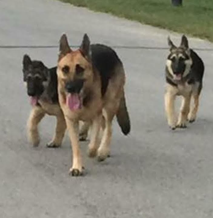 German Shepherd Rescue Central Texas