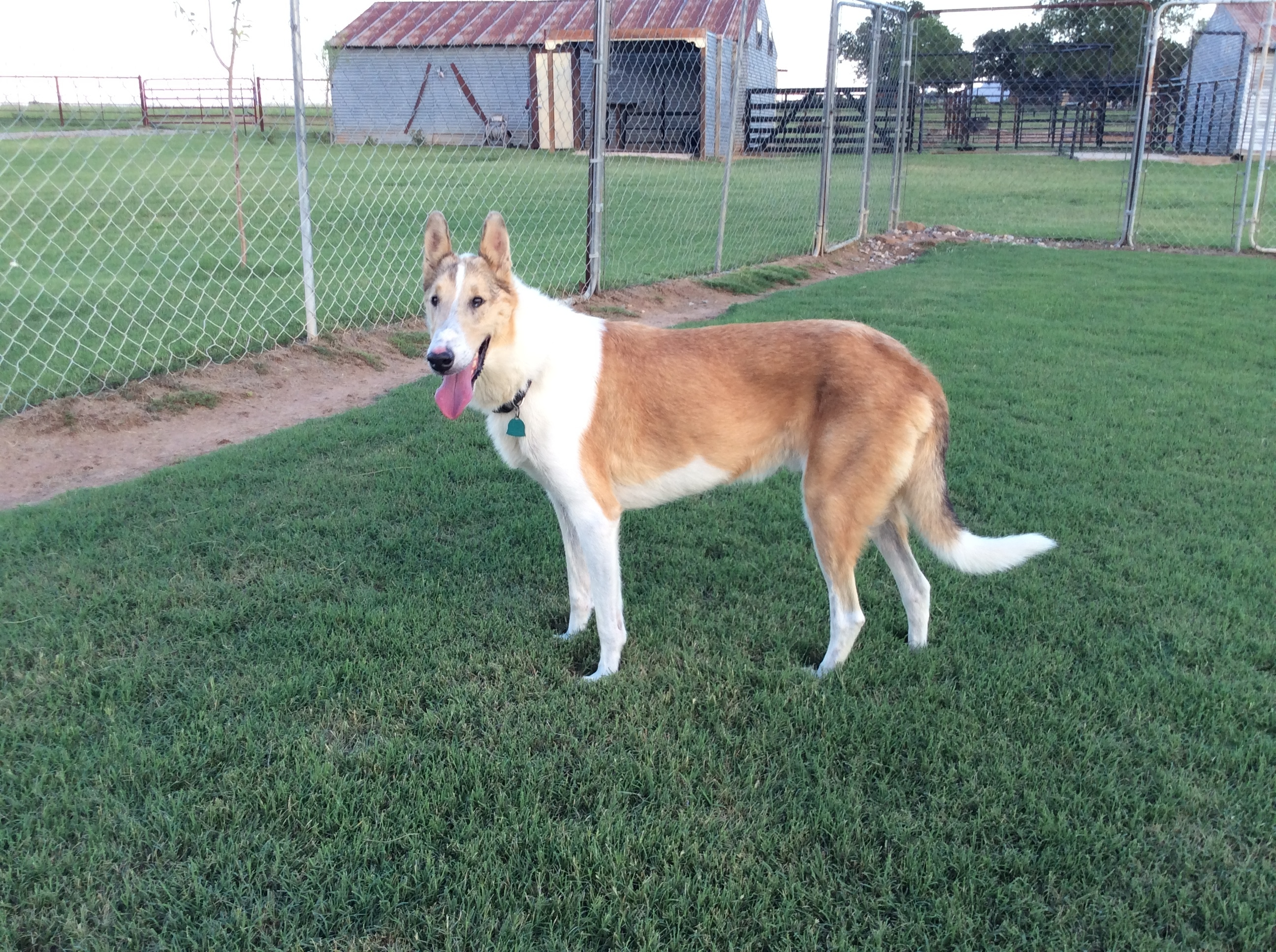 A sable and white smooth collie
