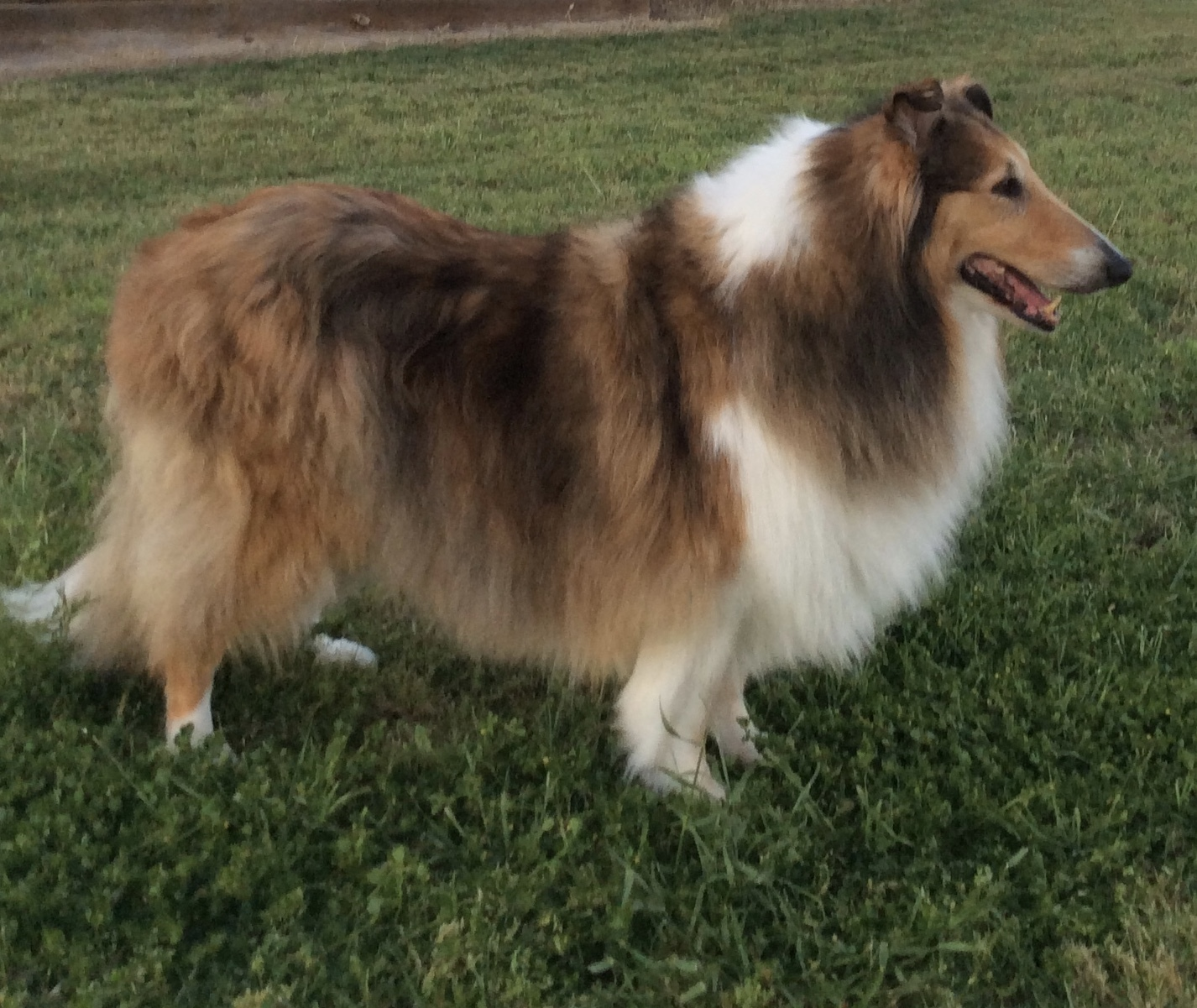 A sable and white rough collie