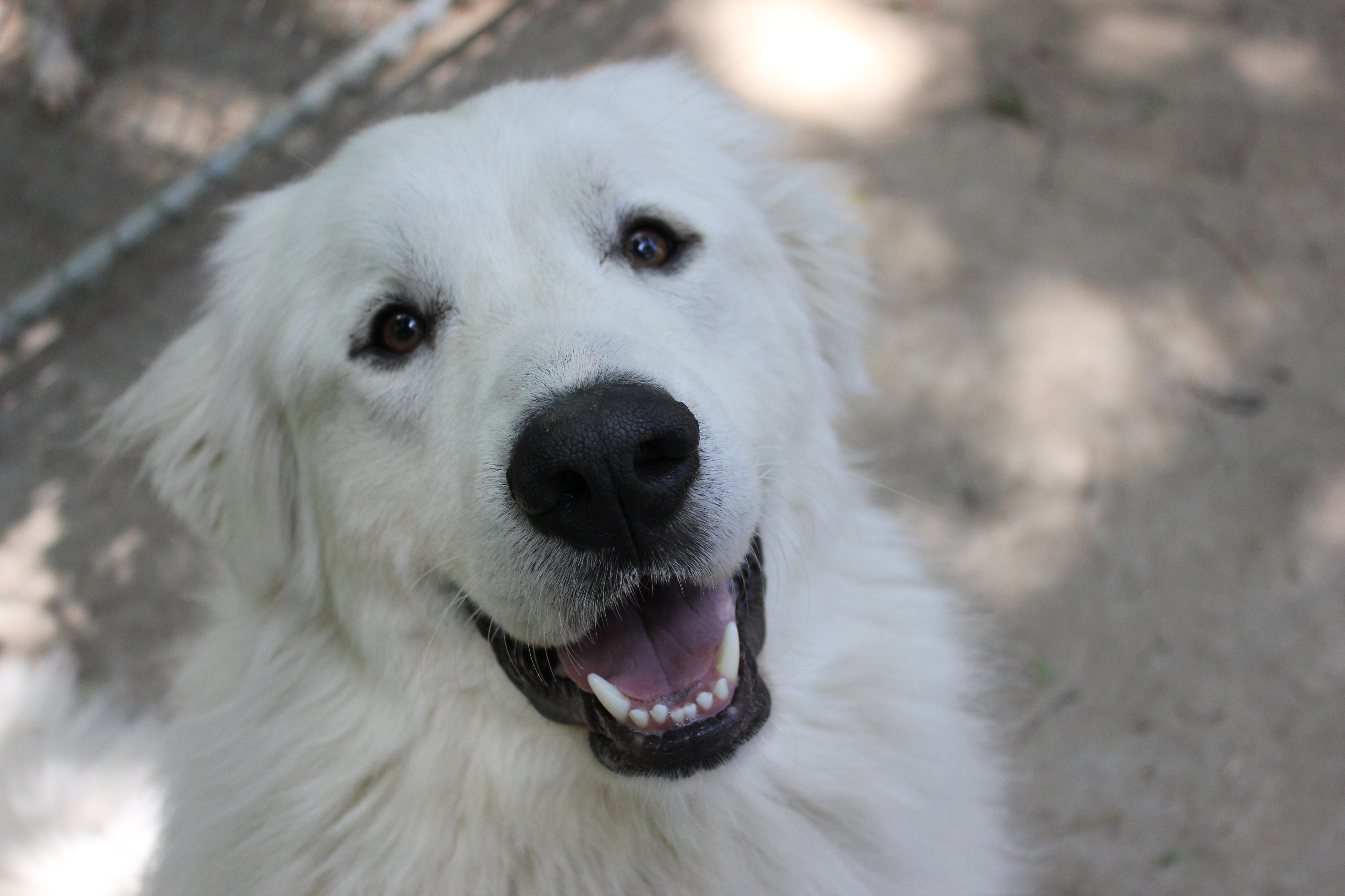 Pets For Adoption At Appalachian Great Pyrenees Rescue In