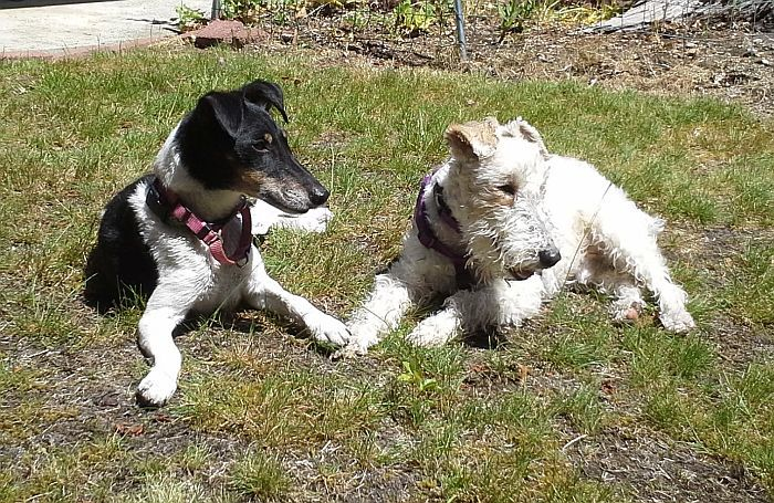 Pets for Adoption at Fox Terrier Fanciers of Puget Sound Rescue ...