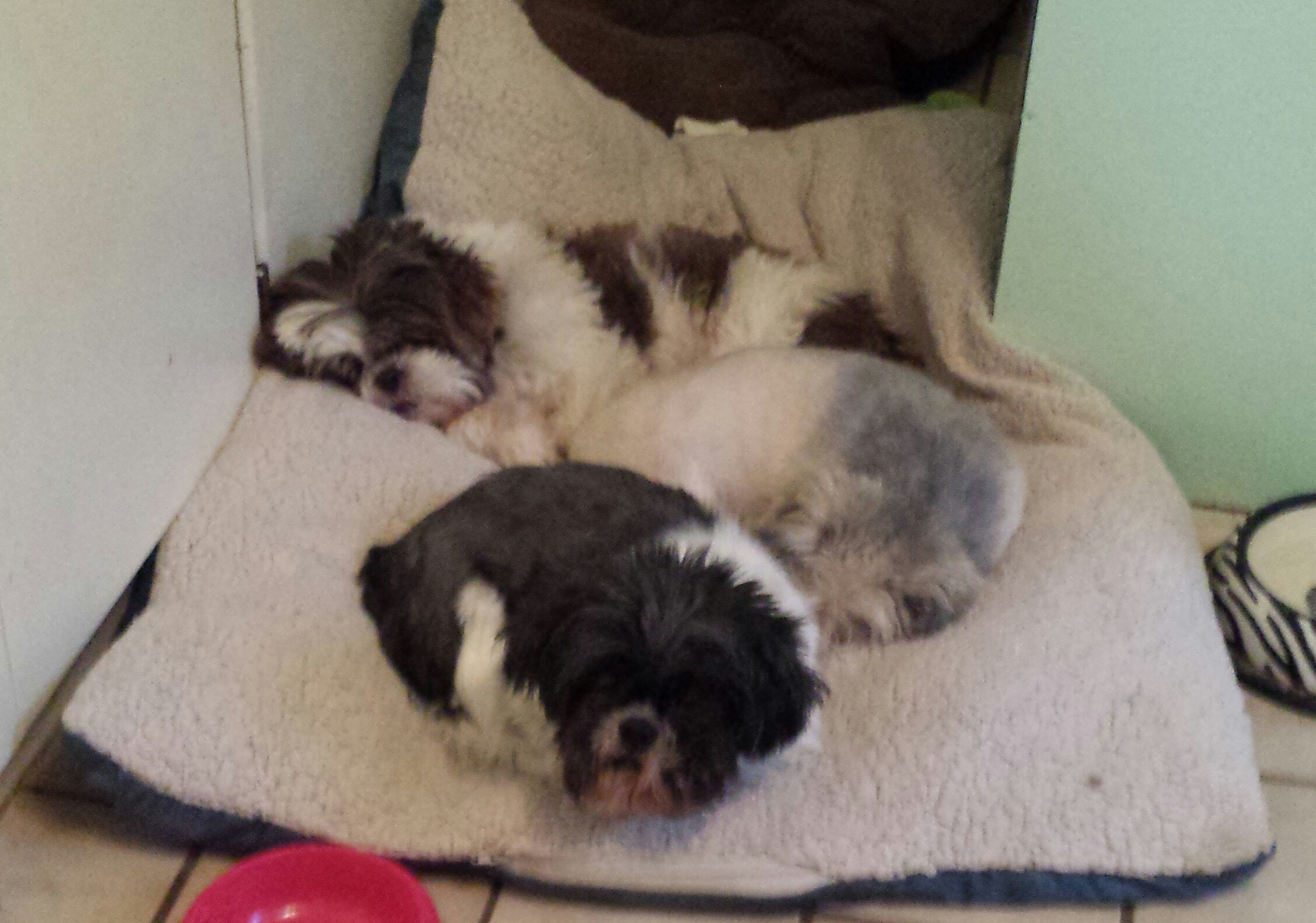 Pets For Adoption At Shih Tzu Rescue Of Central Wi In Schofield Wi