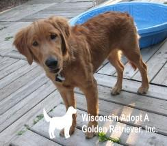 Pets for Adoption at Wisconsin Adopt A Golden Retriever Inc , in