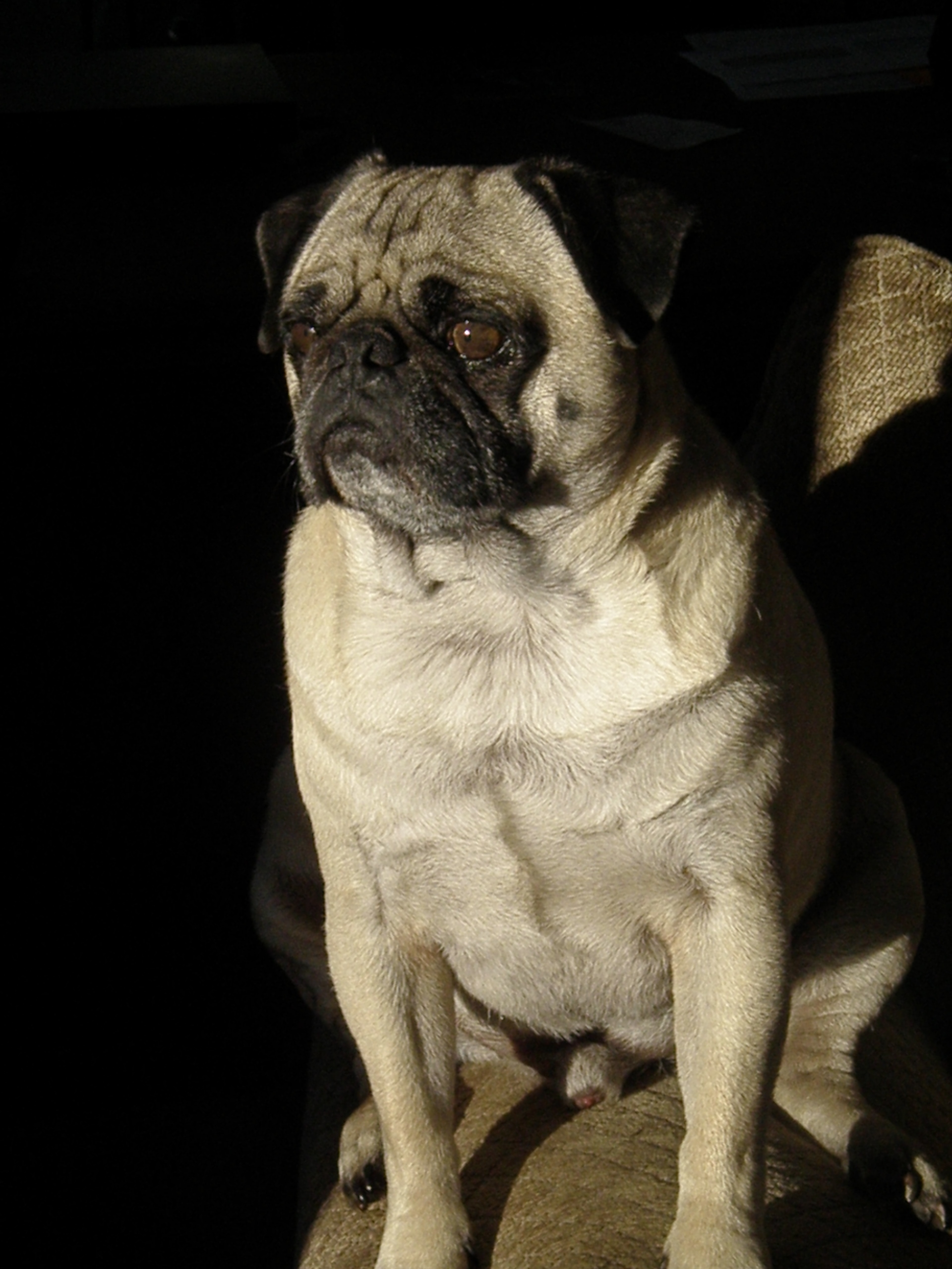 Pets for Adoption at Southwest Idaho Pug Rescue, in Meridian