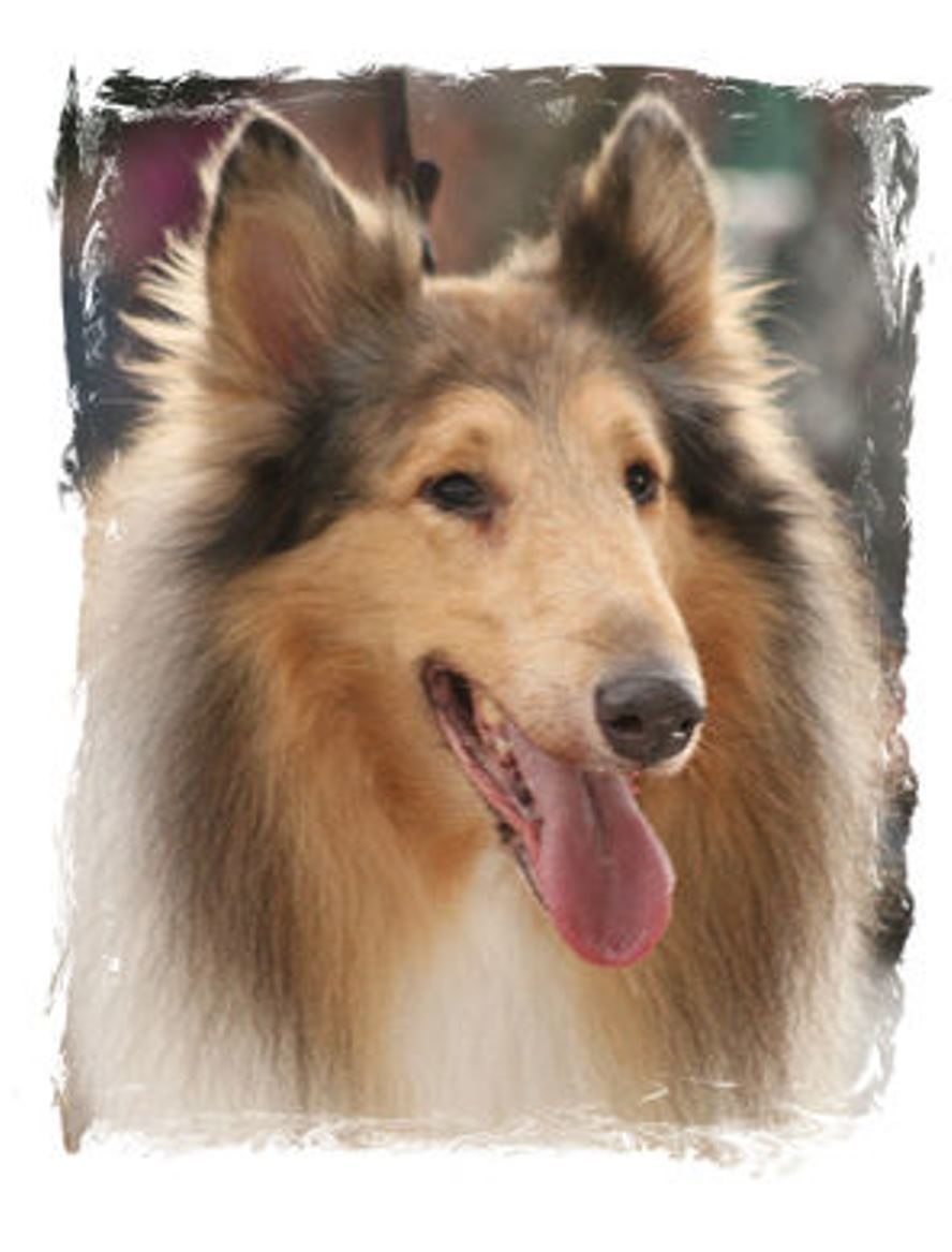 Pets for Adoption at Collie Rescue of Tampa Bay, Inc , in