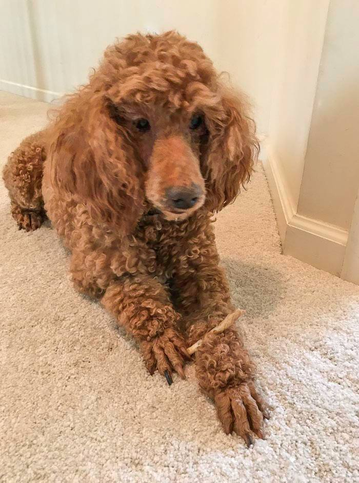 Pets For Adoption At Somerset Cottage Poodle Rescue In