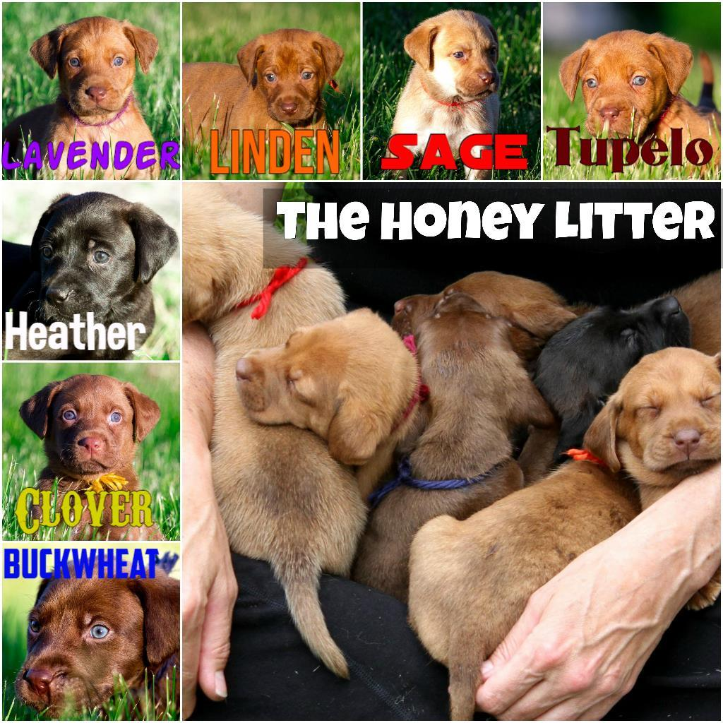 The Honey Litter (All adopted in 2017)