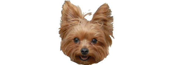 Yorkie Rescue Houston