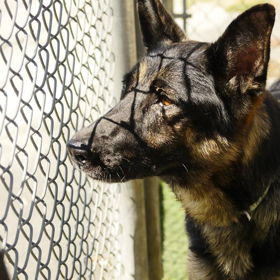 Pets For Adoption At Idaho German Shepherd Rescue In Boise Id