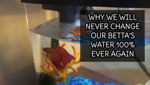 Why We Will Never Change Our Betta's Water 100% Again!!