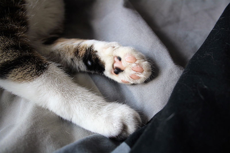 beau-paws-kitten-cat-white-horseshoe-pink