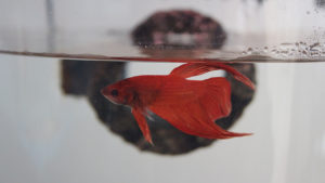 What is the Life Expectancy of a Betta Fish? How long do they live for?