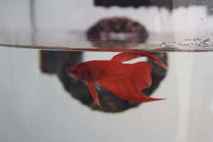 flub-happily-swimming-tank-betta-fish