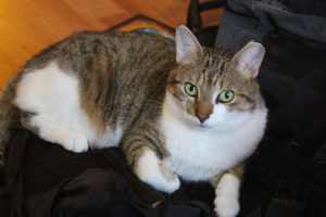 beau-staring-backpack-kitten-cat-pets-overload