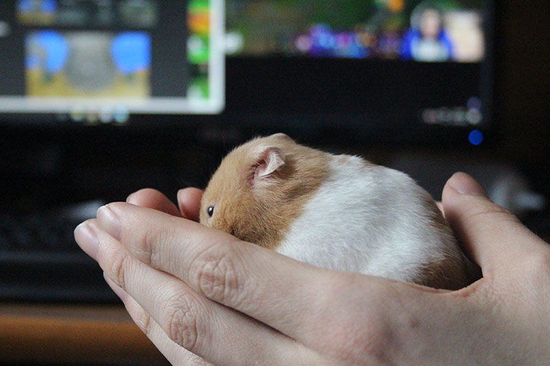 twitch-cleaning-herself-hamster-small-mammal
