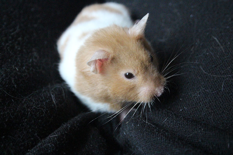 twitch-hamster-close-up-whiskers-pets