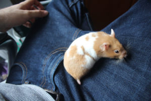 twitch-exploring-hamster-lap-small-mammal