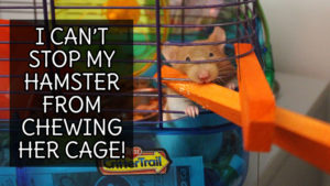 cant-stop-hamster-from-chewing-cage-pets