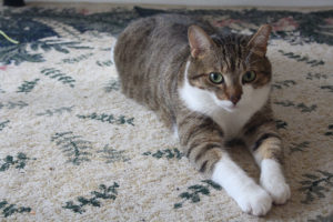 beau-sitting-carpet-cute-horeshoe-kitty-kitten-cat
