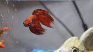 Can you put a Male and Female Betta Fish Together? Can Betta Fish Live Together?