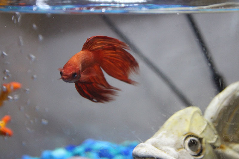 blub-swimming-betta-fish-red-tank