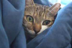 beau-wrapped-cuddling-blanket-cat-white-cute