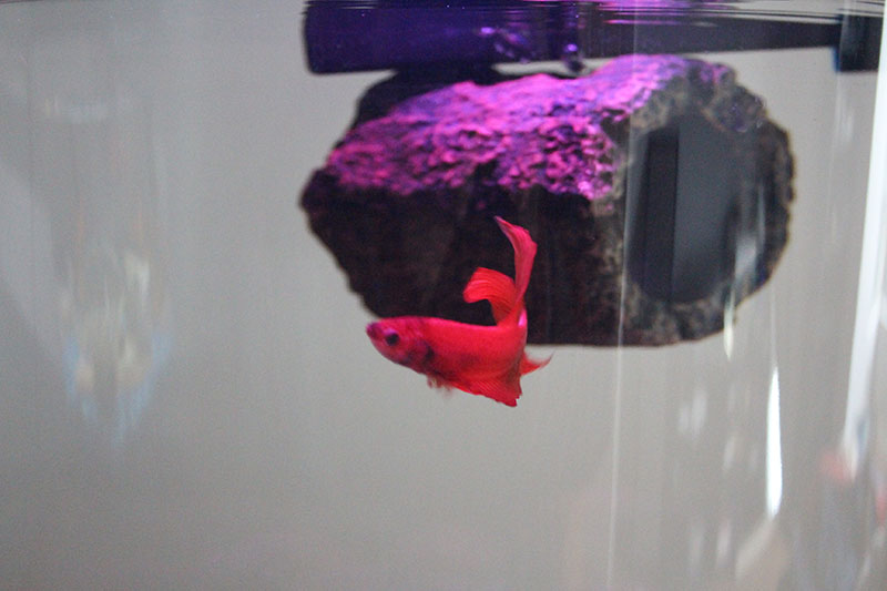 flub-fish-betta-tank-red-crimson